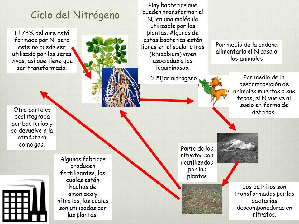Hay bacterias que pueden transformar el N2 en una molécula utilizable por las plantas. Algunas de estas bacterias están libres en el suelo, otras (Rhizobium) viven asociadas a las leguminosas.