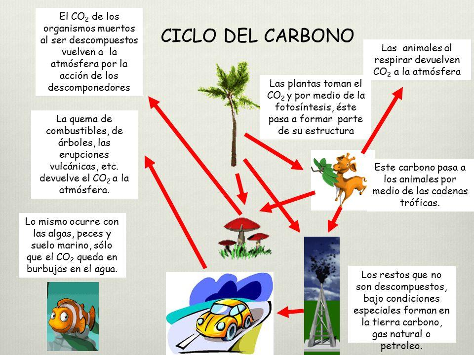 El CO2 de los organismos muertos al ser descompuestos vuelven a la atmósfera por la acción de los descomponedores