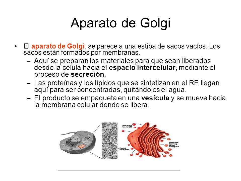 Aparato de Golgi El aparato de Golgi: se parece a una estiba de sacos vacíos. Los sacos están formados por membranas.