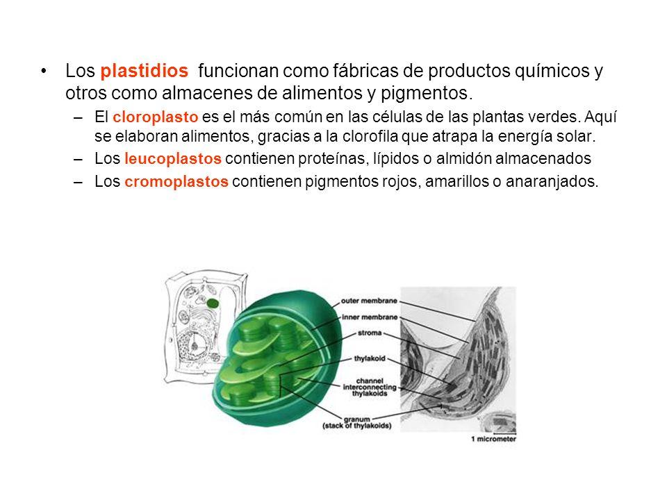 Los plastidios funcionan como fábricas de productos químicos y otros como almacenes de alimentos y pigmentos.
