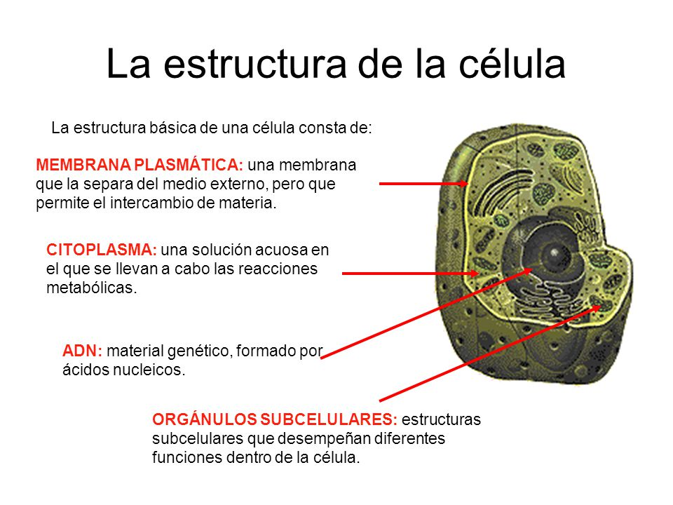 La estructura de la célula