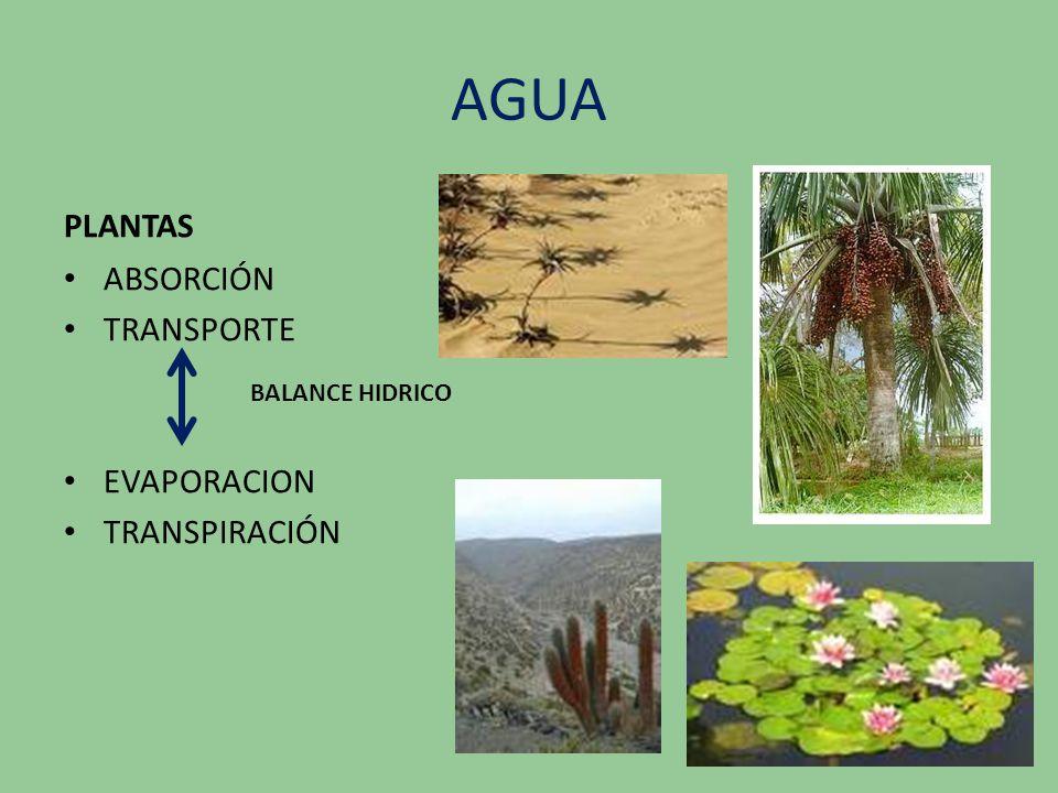 AGUA PLANTAS ABSORCIÓN TRANSPORTE EVAPORACION TRANSPIRACIÓN