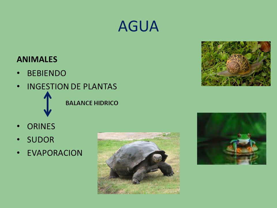 AGUA ANIMALES BEBIENDO INGESTION DE PLANTAS ORINES SUDOR EVAPORACION