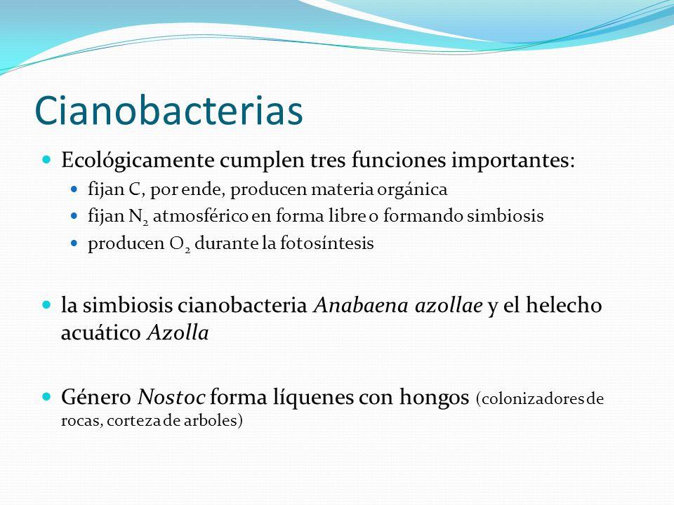 Cianobacterias Ecológicamente cumplen tres funciones importantes: