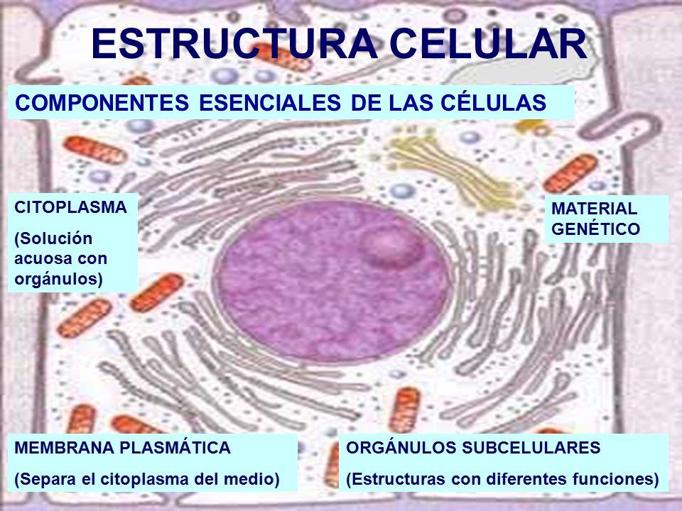 ESTRUCTURA CELULAR COMPONENTES ESENCIALES DE LAS CÉLULAS CITOPLASMA