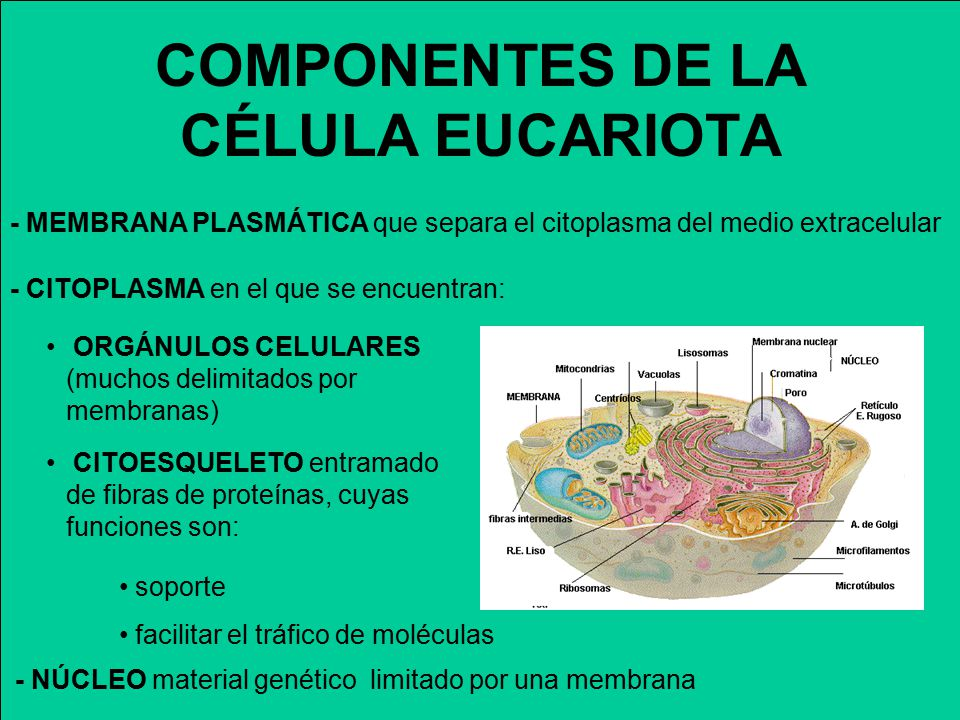 COMPONENTES DE LA CÉLULA EUCARIOTA