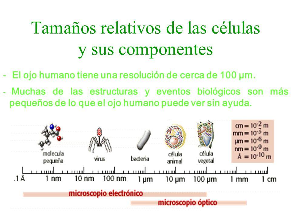 Tamaños relativos de las células y sus componentes