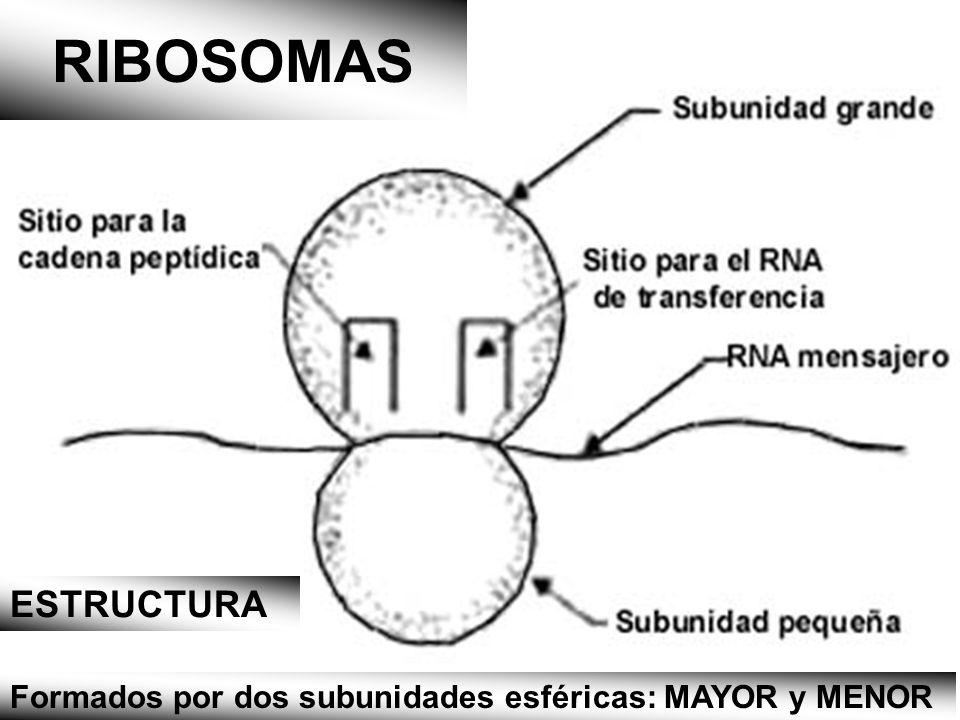 RIBOSOMAS ESTRUCTURA Formados por dos subunidades esféricas: MAYOR y MENOR