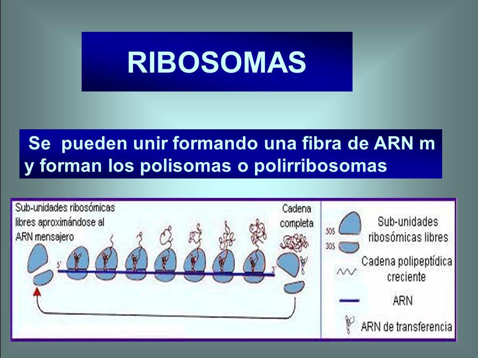 RIBOSOMAS Se pueden unir formando una fibra de ARN m y forman los polisomas o polirribosomas