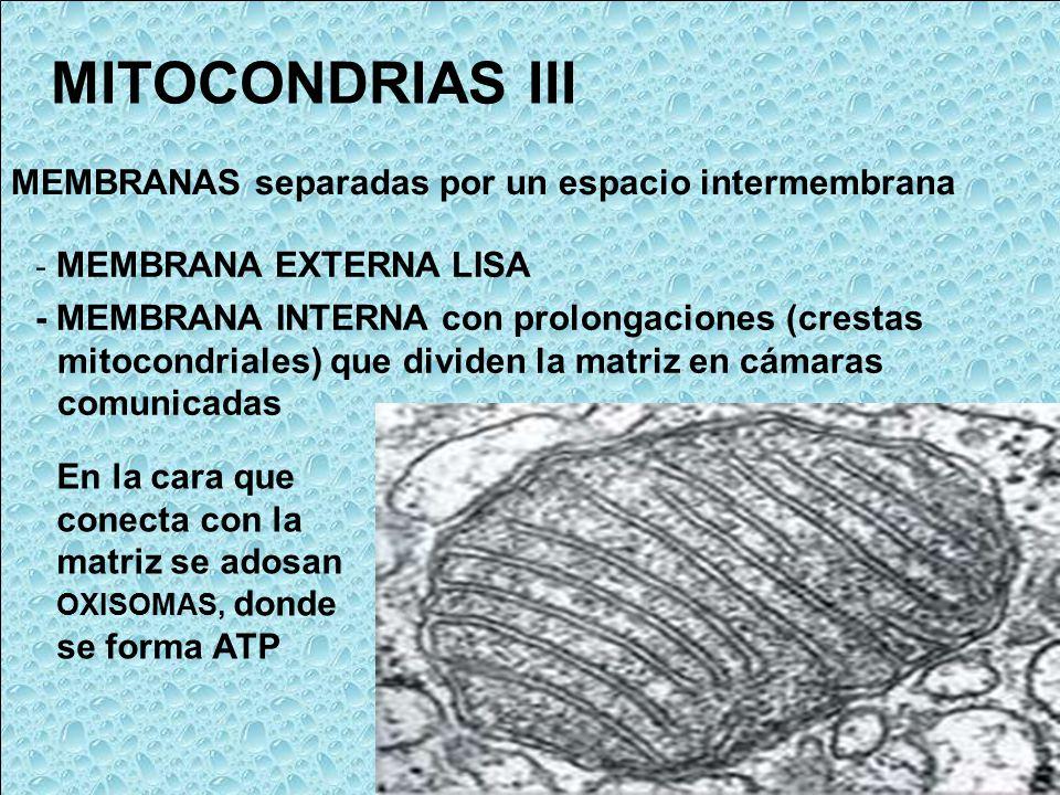 MITOCONDRIAS III MEMBRANAS separadas por un espacio intermembrana