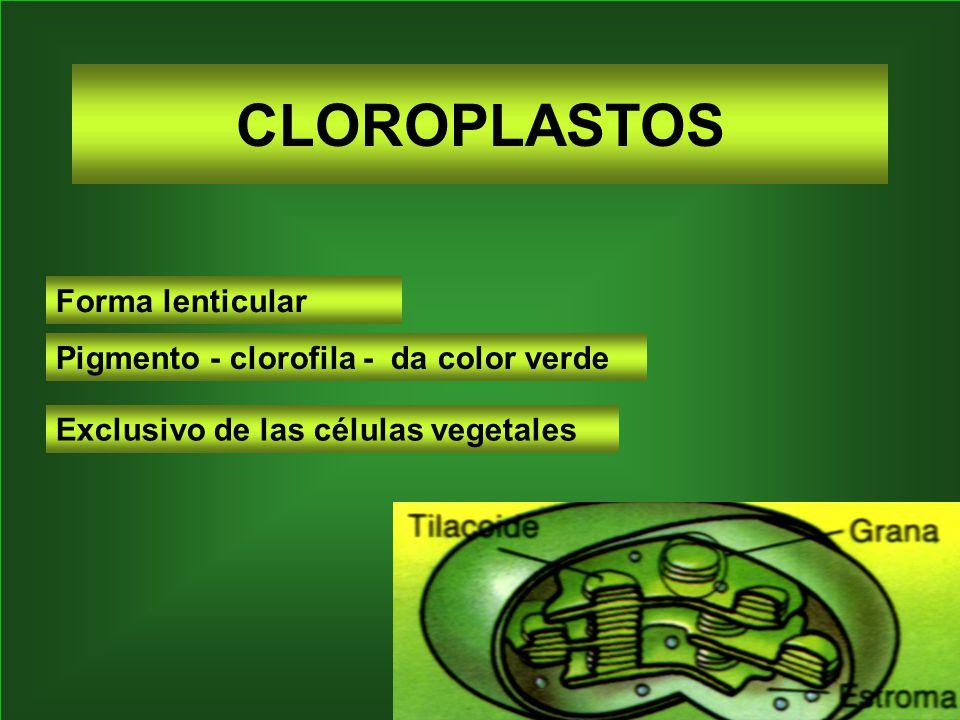 CLOROPLASTOS Forma lenticular Pigmento - clorofila - da color verde