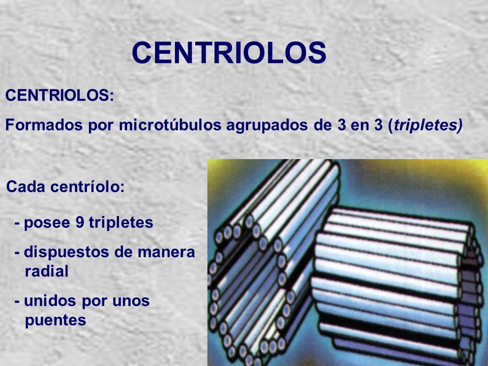 CENTRIOLOS CENTRIOLOS: