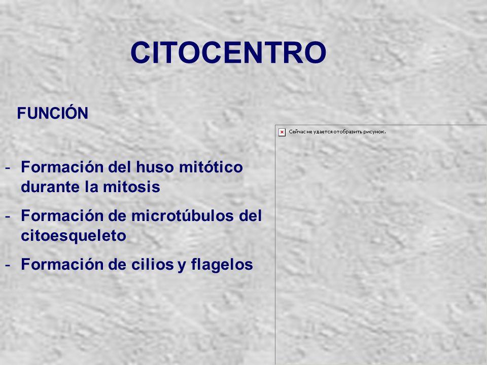 CITOCENTRO FUNCIÓN Formación del huso mitótico durante la mitosis