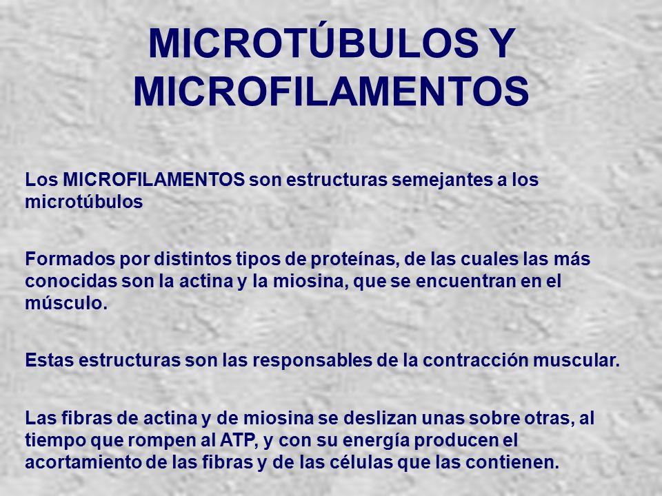 MICROTÚBULOS Y MICROFILAMENTOS