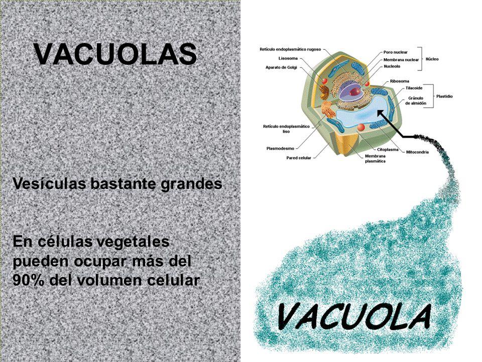 VACUOLAS Vesículas bastante grandes