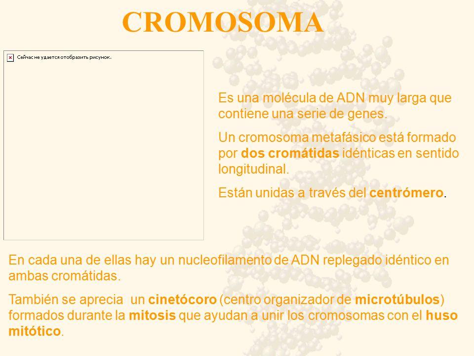 CROMOSOMA Es una molécula de ADN muy larga que contiene una serie de genes.