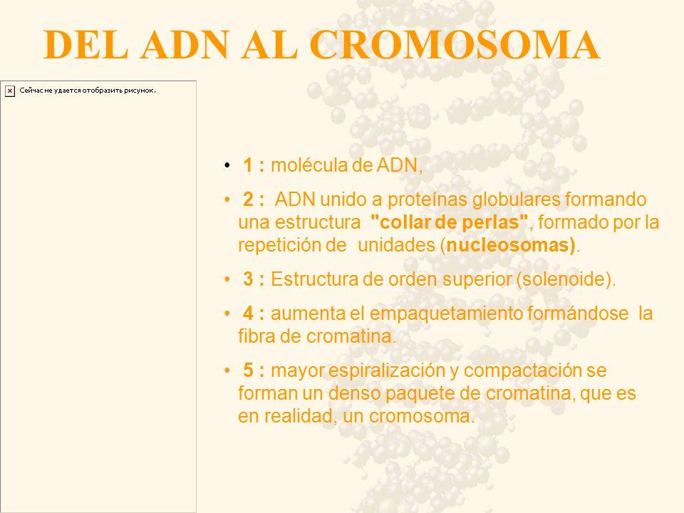 DEL ADN AL CROMOSOMA 1 : molécula de ADN,