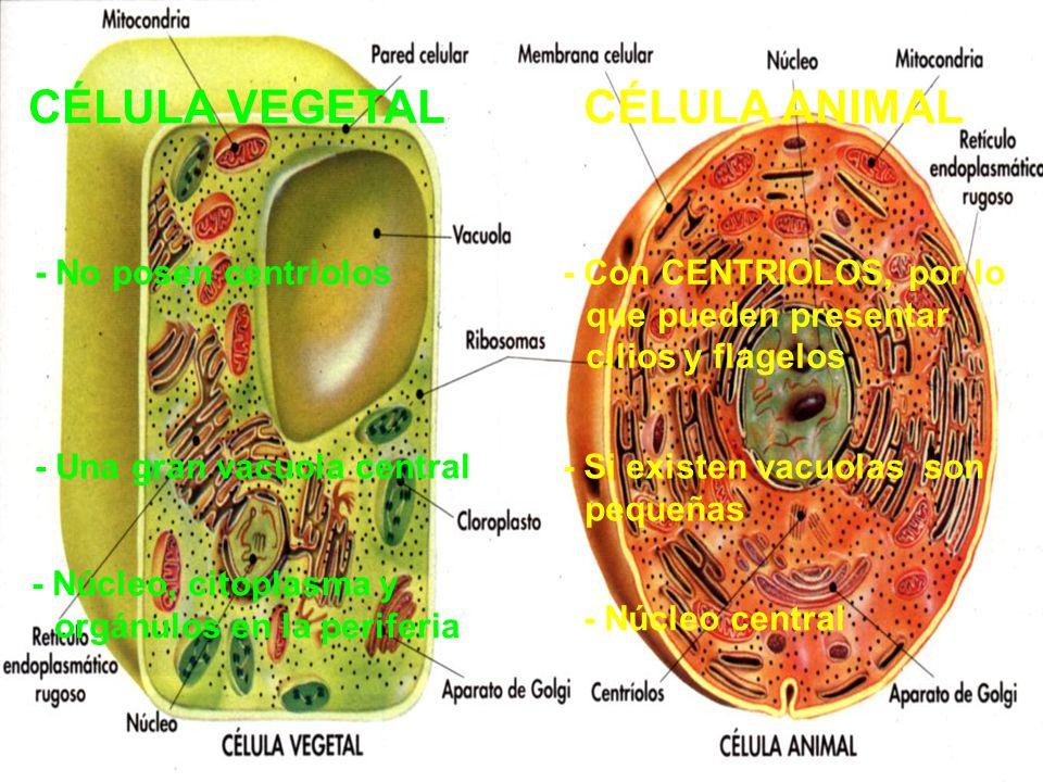 CÉLULA VEGETAL CÉLULA ANIMAL - No posen centriolos