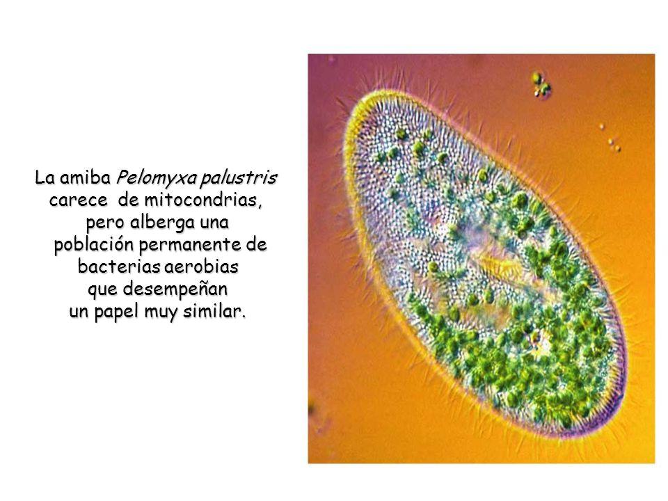 La amiba Pelomyxa palustris carece de mitocondrias, pero alberga una