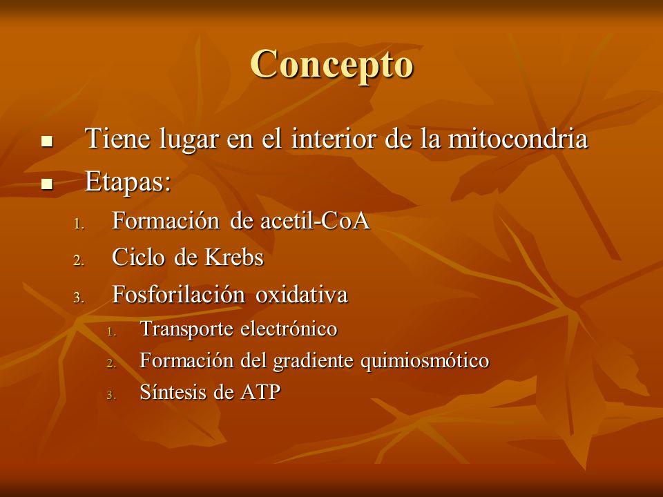 Concepto Tiene lugar en el interior de la mitocondria Etapas: