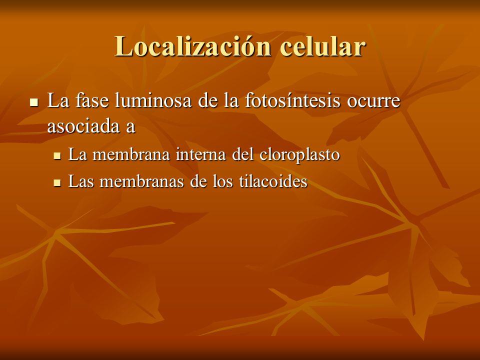 Localización celular La fase luminosa de la fotosíntesis ocurre asociada a. La membrana interna del cloroplasto.
