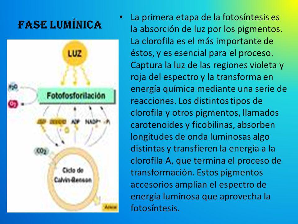 Fase lumínica