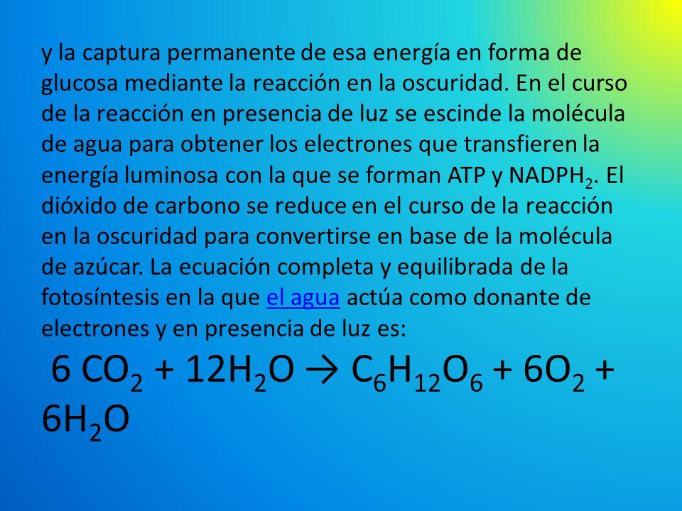 y la captura permanente de esa energía en forma de glucosa mediante la reacción en la oscuridad.