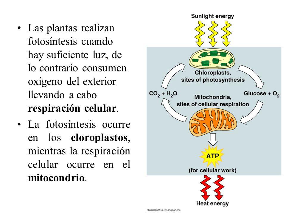 Las plantas realizan fotosíntesis cuando hay suficiente luz, de lo contrario consumen oxígeno del exterior llevando a cabo respiración celular.