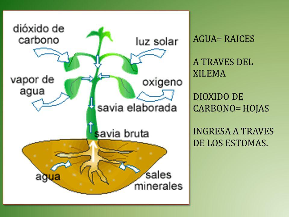 AGUA= RAICES A TRAVES DEL XILEMA DIOXIDO DE CARBONO= HOJAS INGRESA A TRAVES DE LOS ESTOMAS.
