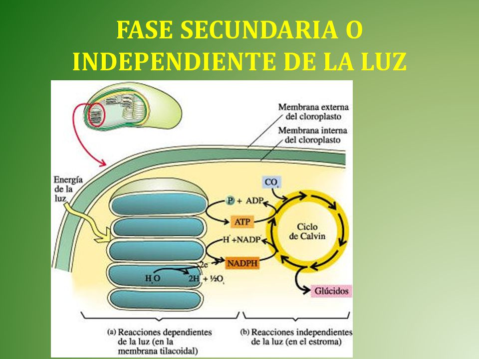 FASE SECUNDARIA O INDEPENDIENTE DE LA LUZ