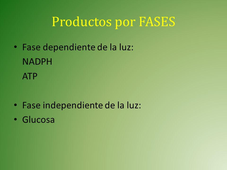 Productos por FASES Fase dependiente de la luz: NADPH ATP