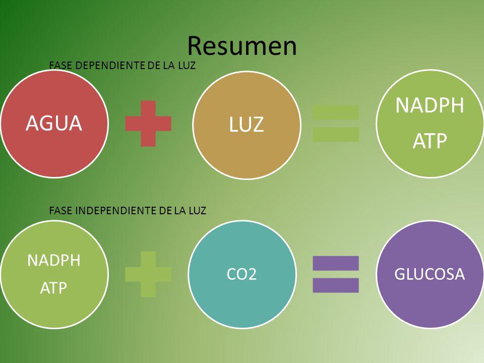 Resumen NADPH AGUA LUZ ATP NADPH ATP CO2 GLUCOSA