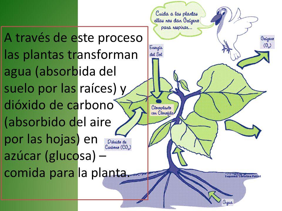 A través de este proceso las plantas transforman agua (absorbida del suelo por las raíces) y dióxido de carbono (absorbido del aire