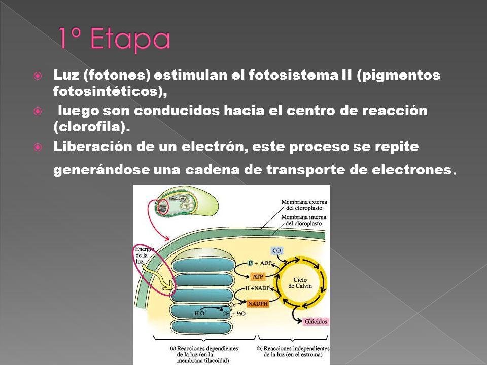 1º Etapa Luz (fotones) estimulan el fotosistema II (pigmentos fotosintéticos), luego son conducidos hacia el centro de reacción (clorofila).