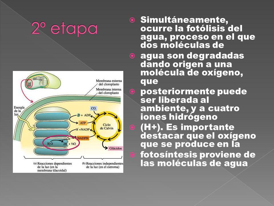 2º etapa Simultáneamente, ocurre la fotólisis del agua, proceso en el que dos moléculas de.