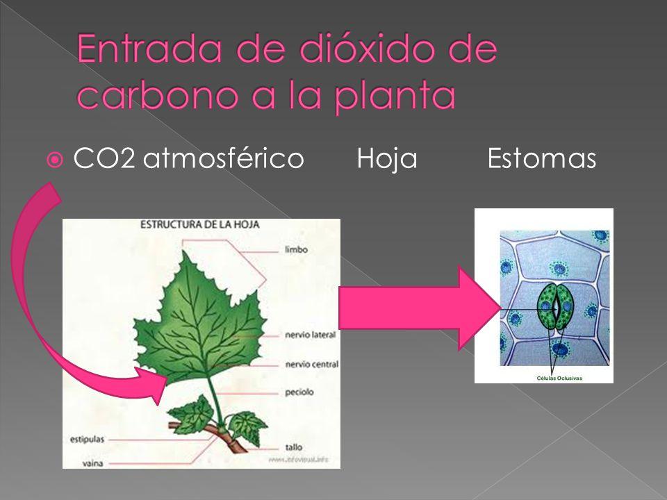 Entrada de dióxido de carbono a la planta