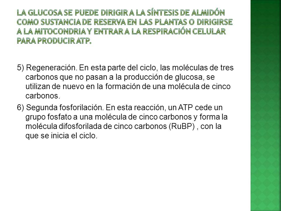 La glucosa se puede dirigir a la síntesis de almidón como sustancia de reserva en las plantas o dirigirse a la mitocondria y entrar a la respiración celular para producir ATP.