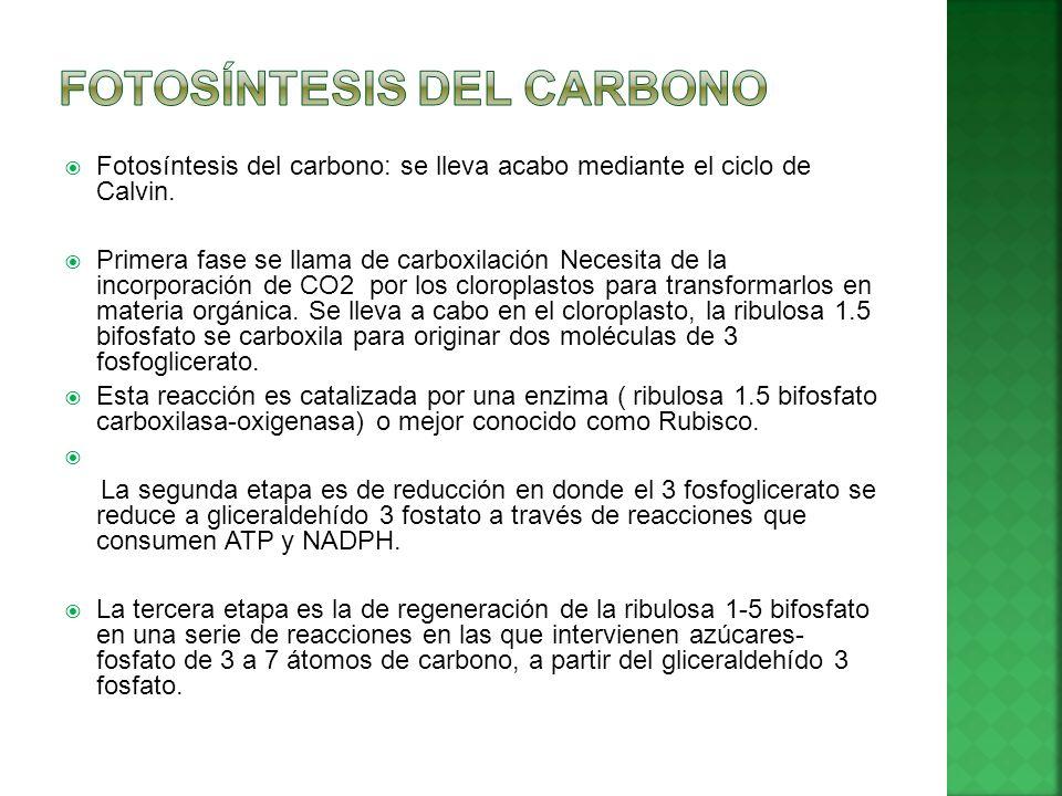 FOTOSÍNTESIS DEL CARBONO