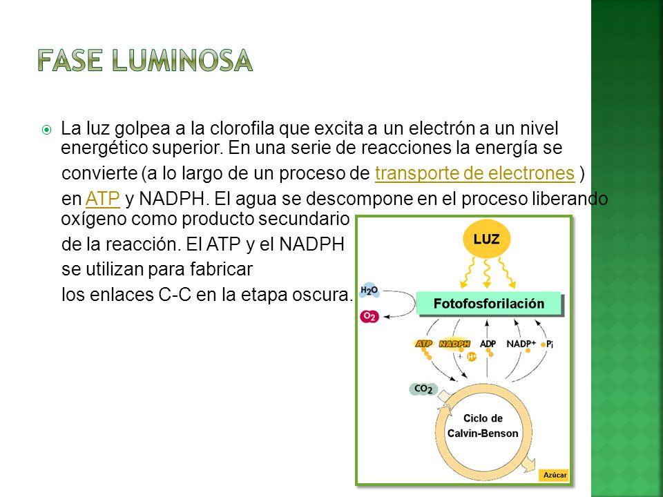 Fase Luminosa La luz golpea a la clorofila que excita a un electrón a un nivel energético superior. En una serie de reacciones la energía se.