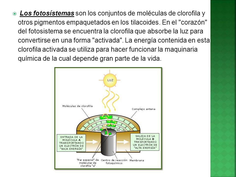 Los fotosístemas son los conjuntos de moléculas de clorofila y