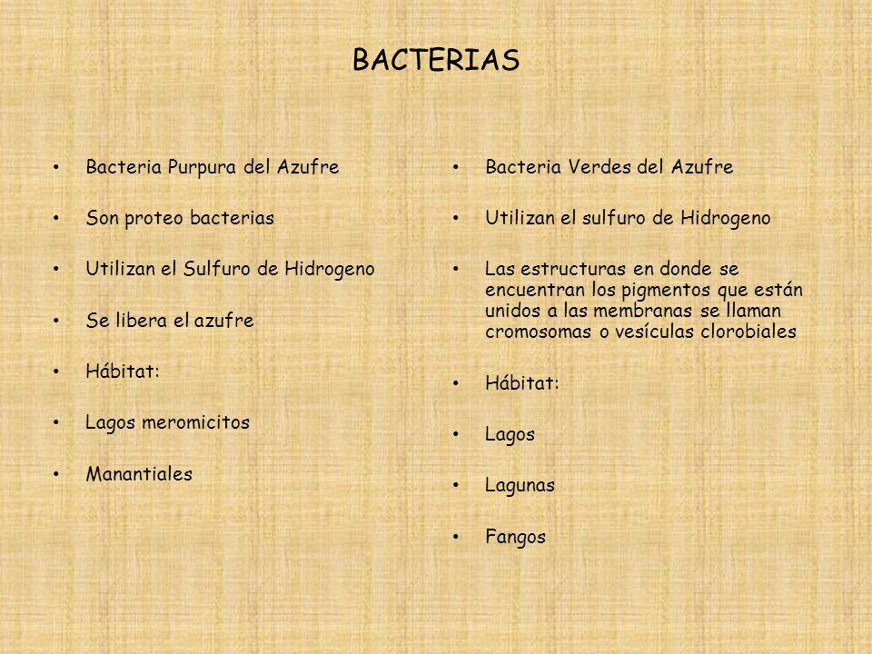 BACTERIAS Bacteria Purpura del Azufre Son proteo bacterias