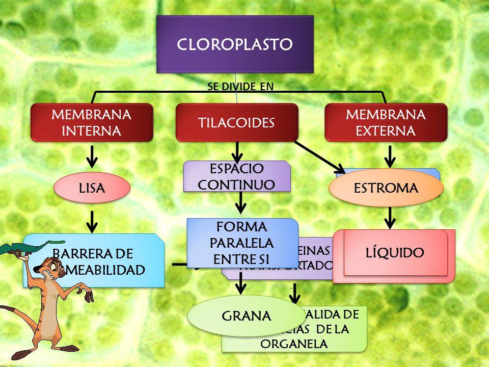CLOROPLASTO MEMBRANA INTERNA TILACOIDES MEMBRANA EXTERNA