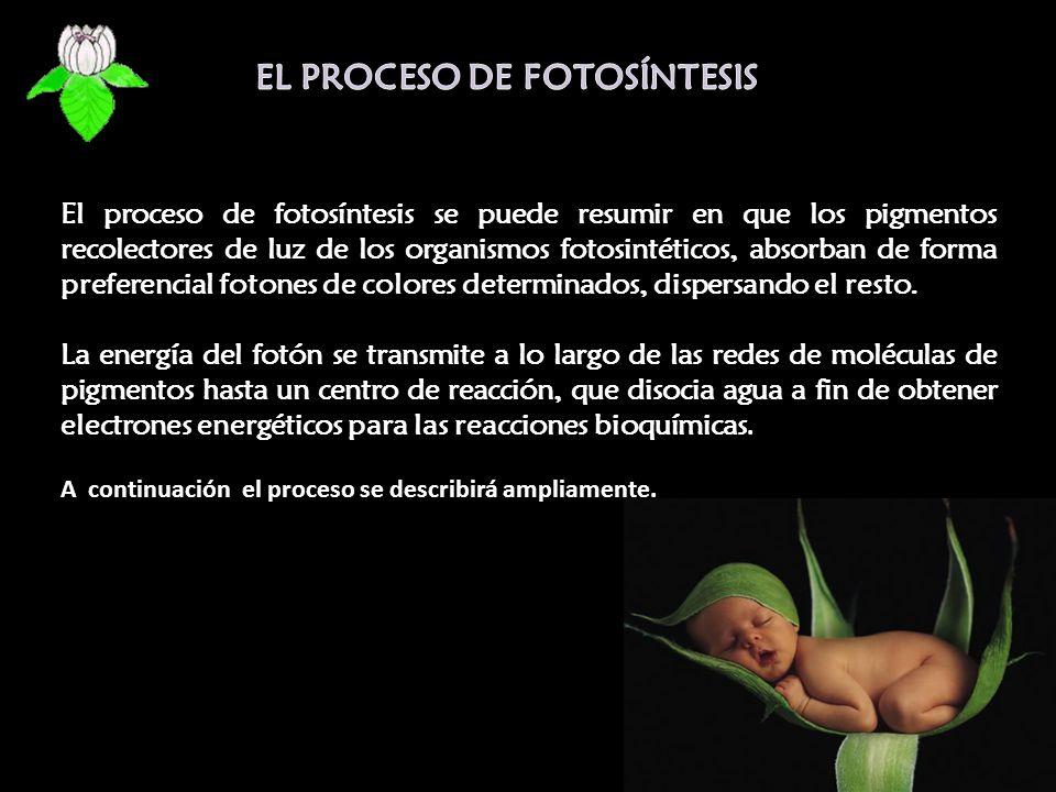EL PROCESO DE FOTOSÍNTESIS
