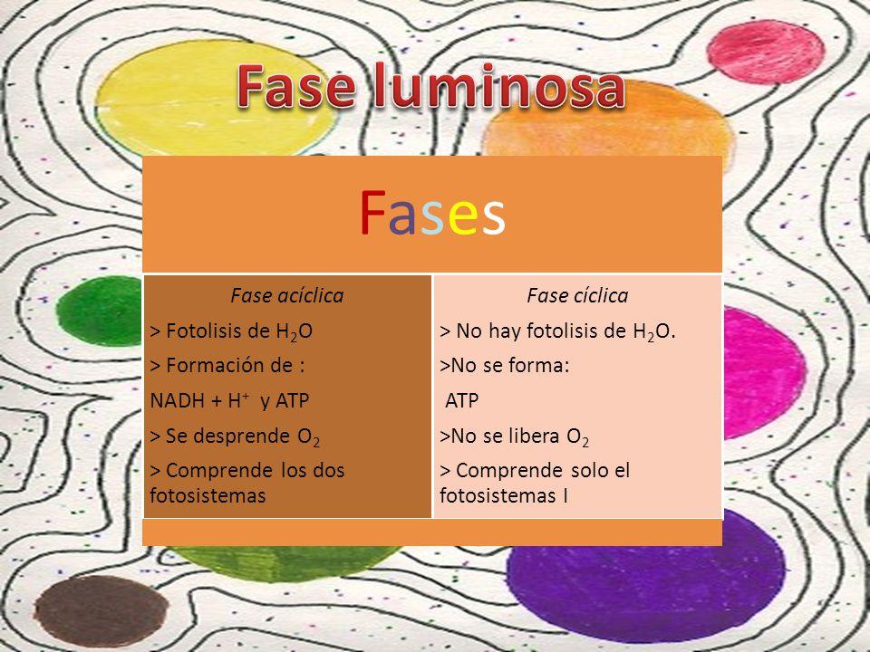 Fases Fase luminosa Fase acíclica > Fotolisis de H2O