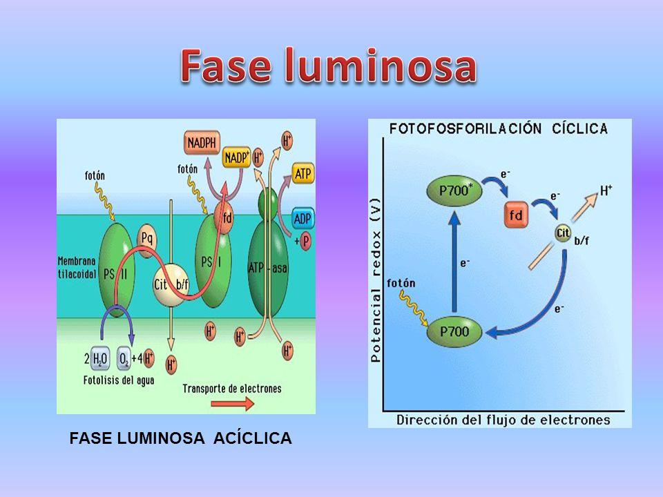 Fase luminosa FASE LUMINOSA ACÍCLICA