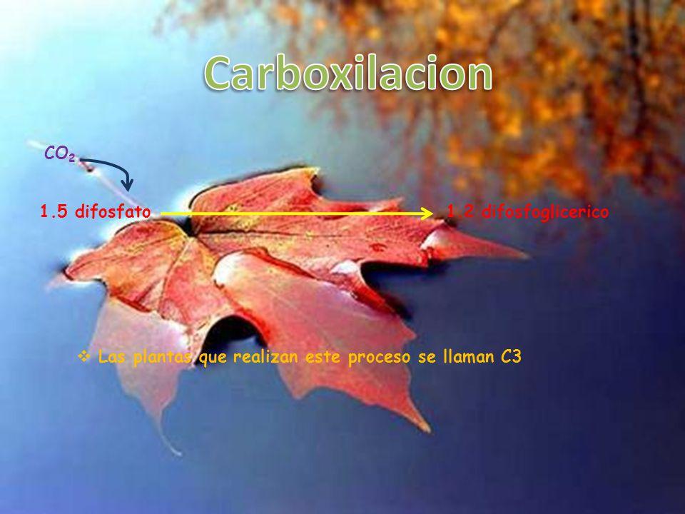 Carboxilacion CO2 1.5 difosfato 1.2 difosfoglicerico