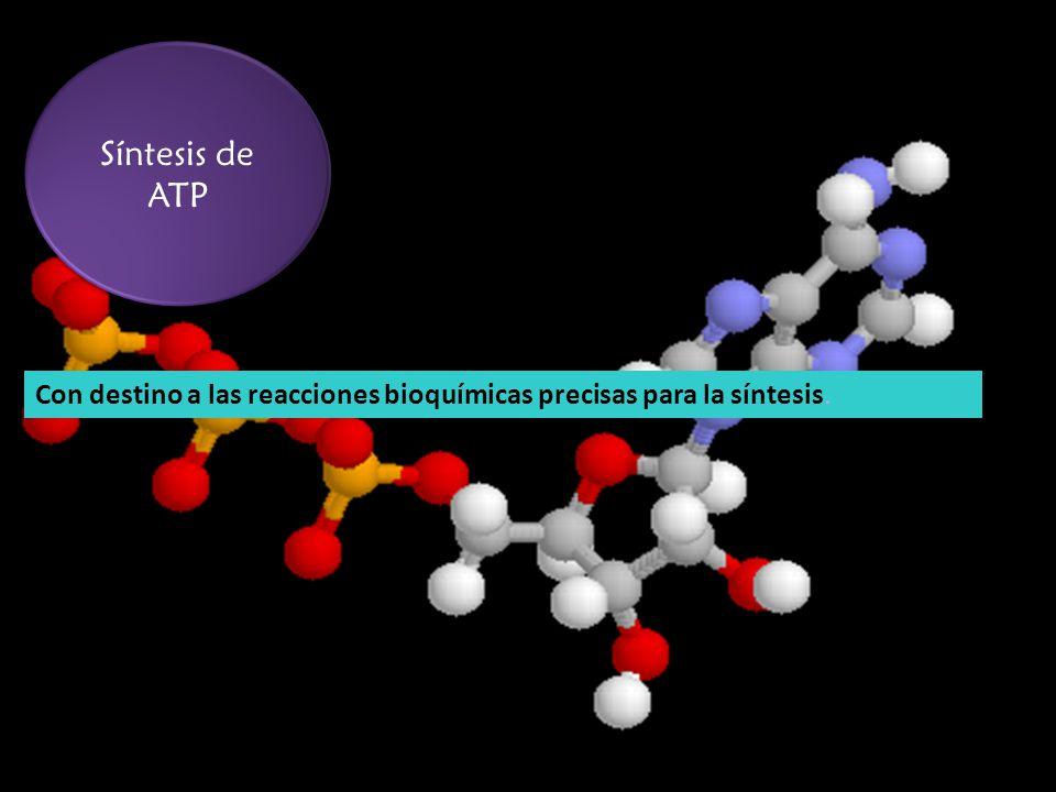 Síntesis de ATP Con destino a las reacciones bioquímicas precisas para la síntesis.