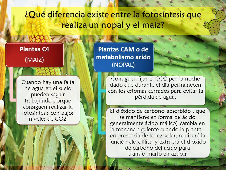 Plantas CAM o de metabolismo acido (NOPAL)