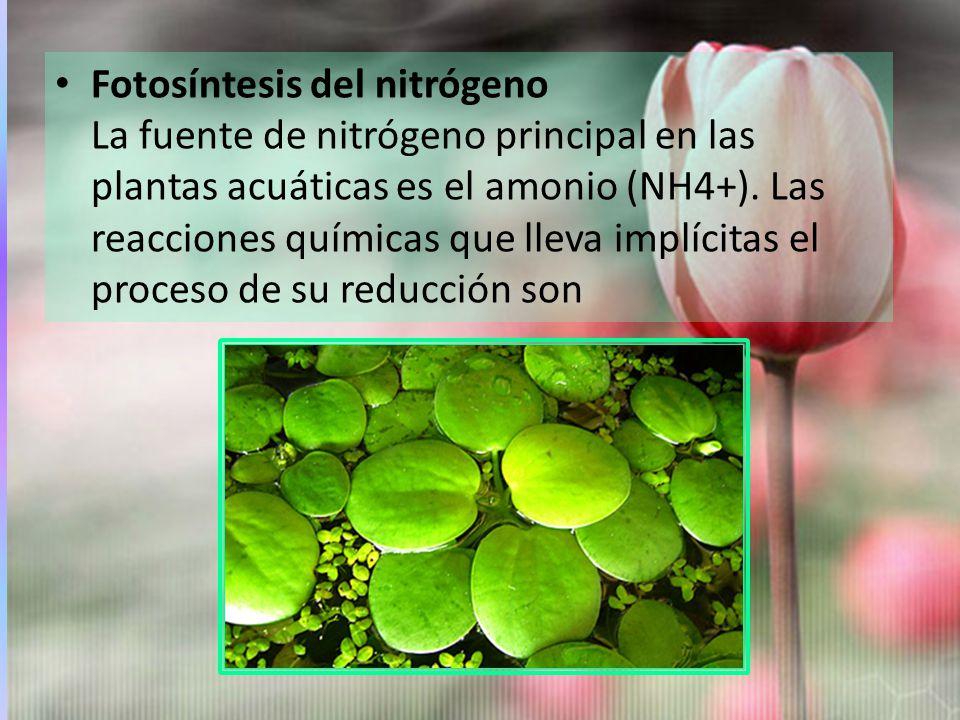 Fotosíntesis del nitrógeno La fuente de nitrógeno principal en las plantas acuáticas es el amonio (NH4+).