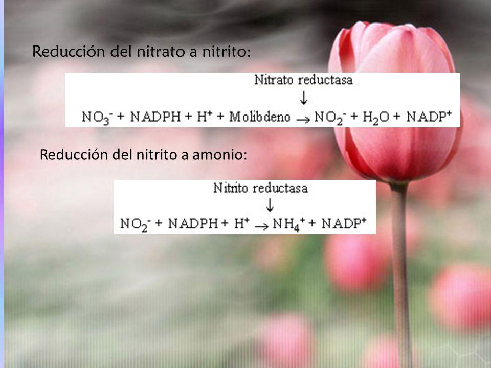 Reducción del nitrato a nitrito: